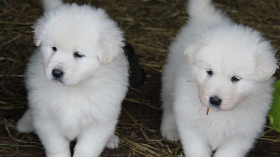 biele psy