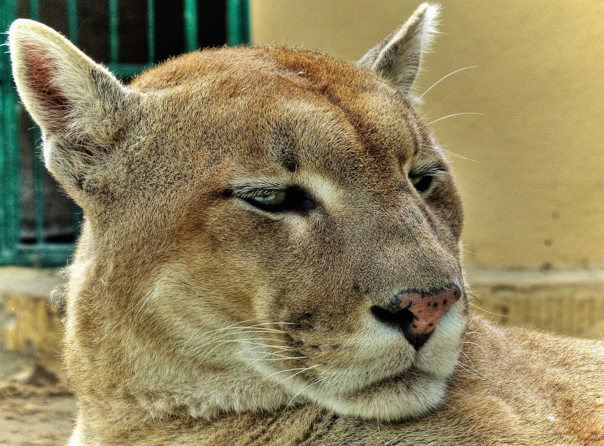 Puma vZOO Spišská Nová Ves, Zdroj: Flickr, CC 2.0, Autor: Traveltipy