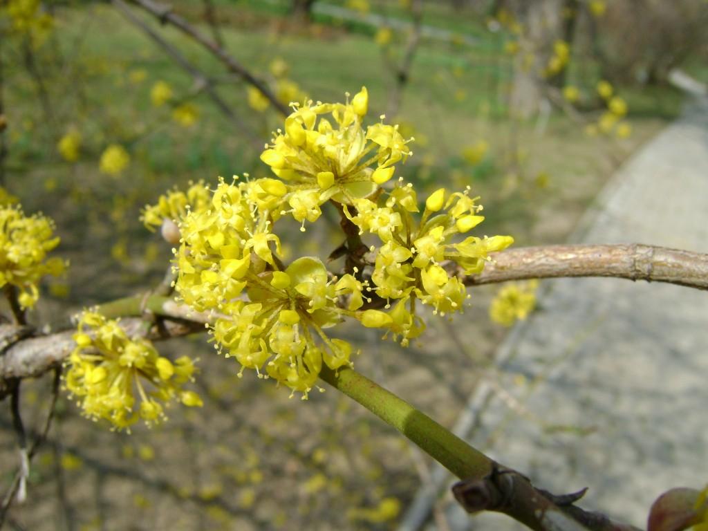 kvitnúci drieň