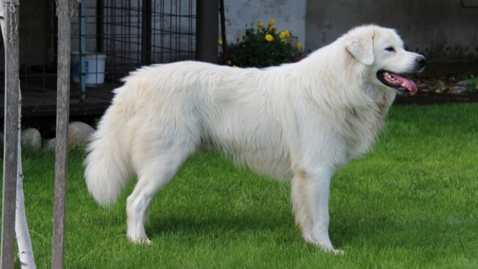 biely pes