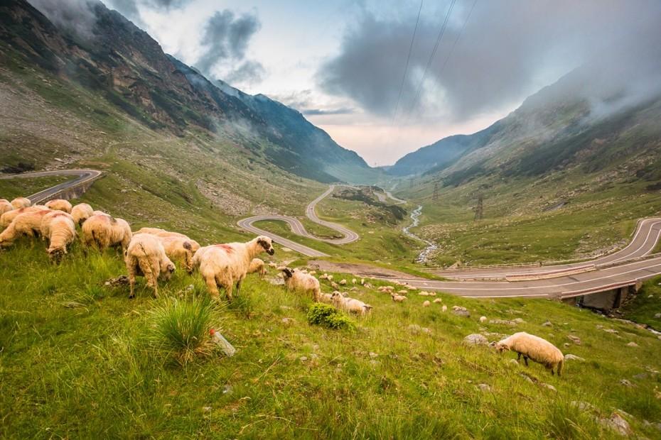 ovce pri ceste
