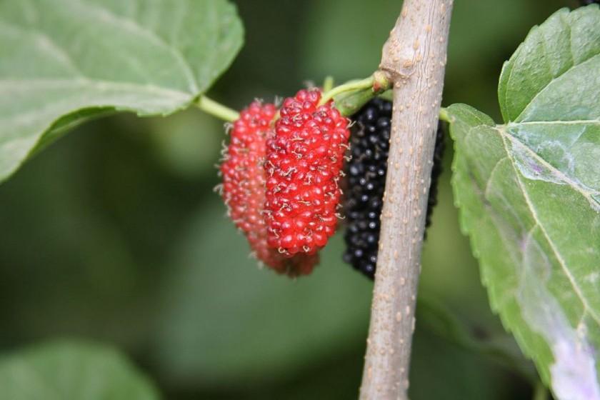 plod moruše čiernej