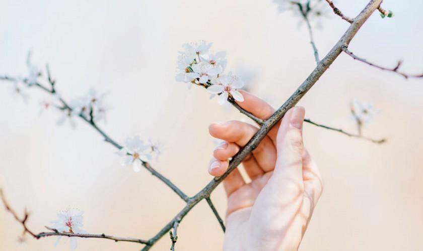 rozkvitnutá čerešňa, ruka