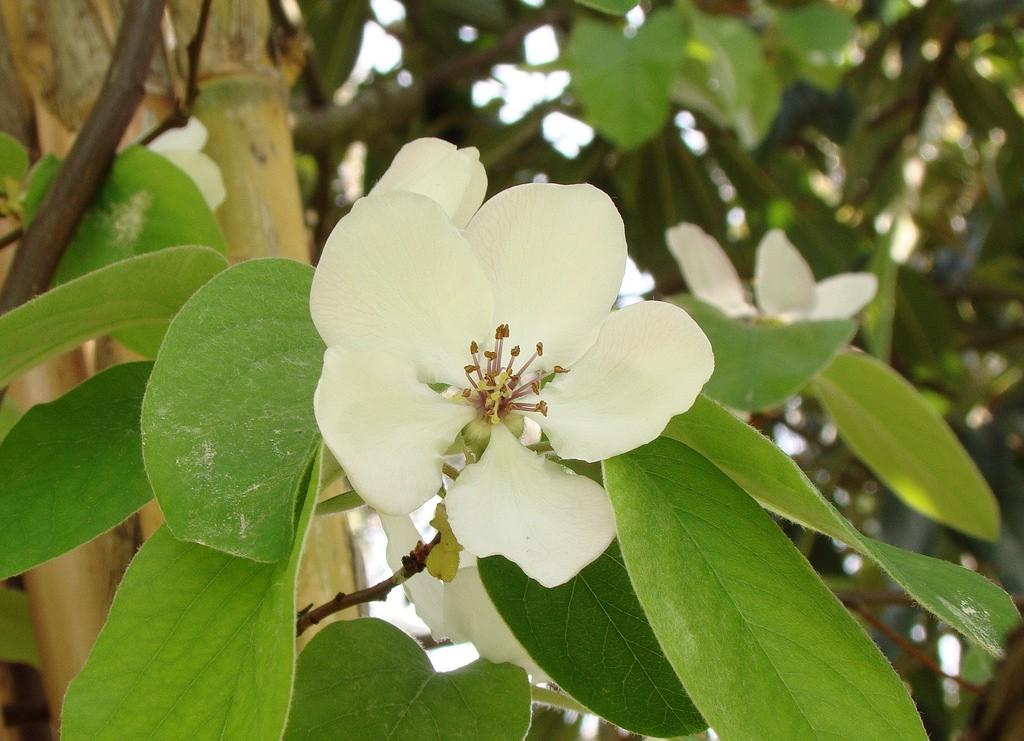 kvet dule