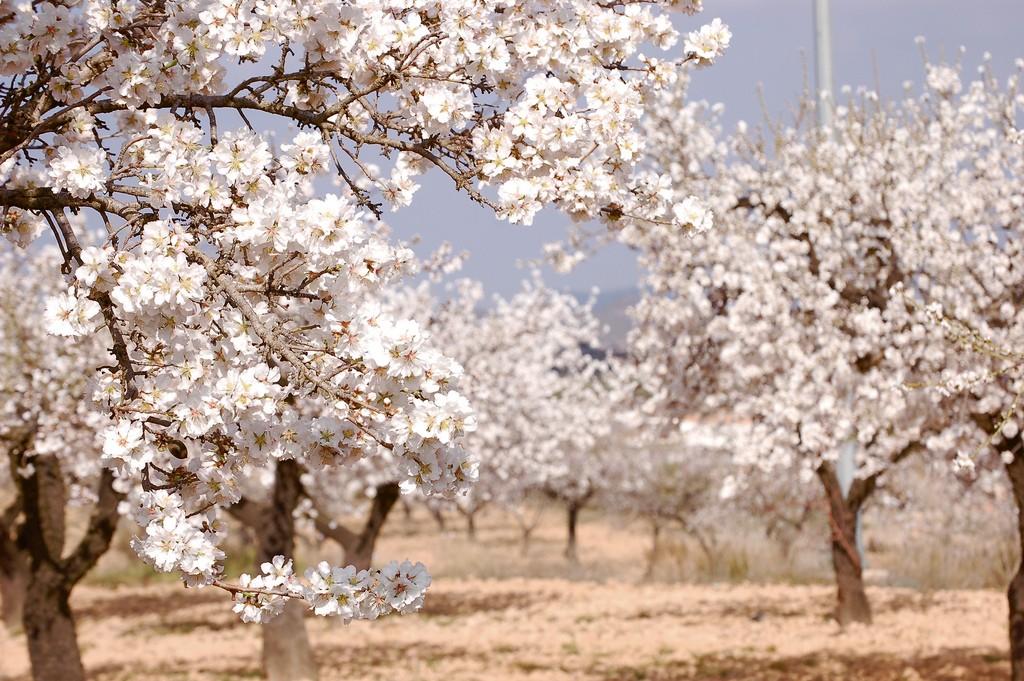 mandľové stromy