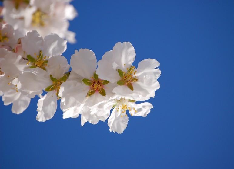 mandľový kvet