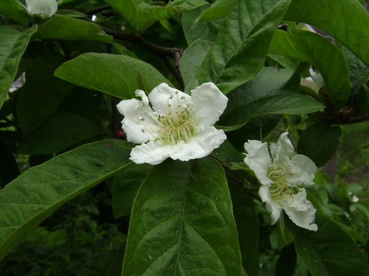 Kvet mišpule