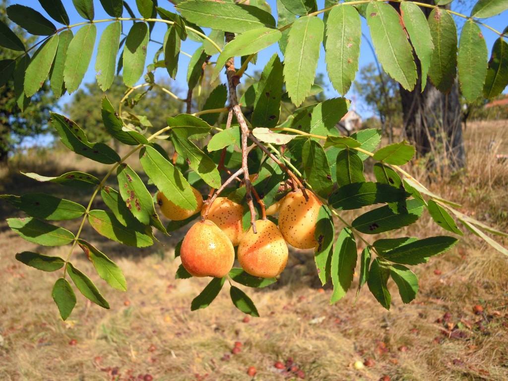 plody oskoruše